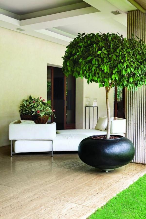 birkenfeige beliebteste zimmerpflanzen ficus benjamina