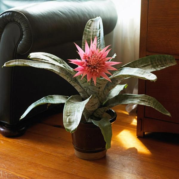 blühende zimmerpflanzen aechmea faciata lanzenrosette pflege