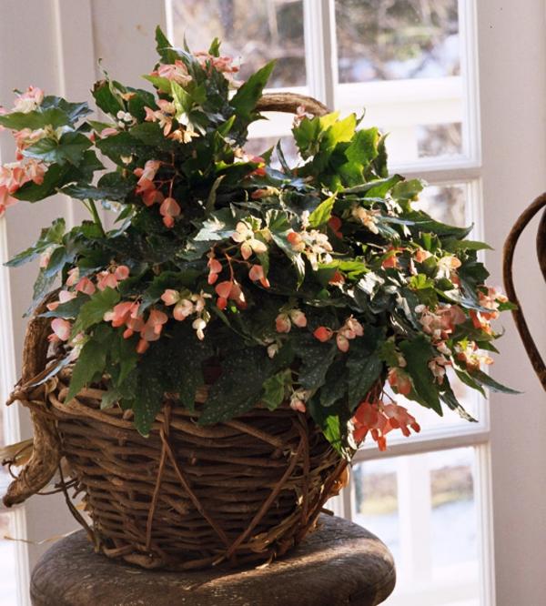 blühende zimmerpflanzen begonia coccinea begonie schiefblatt