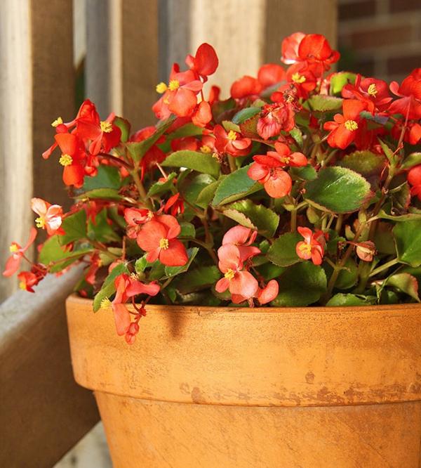 blühende zimmerpflanzen begonia semperflorens begonie schiefblatt