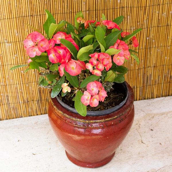 blühende zimmerpflanzen euphorbia milii topfpflanze wolfsmilch topfpflanze