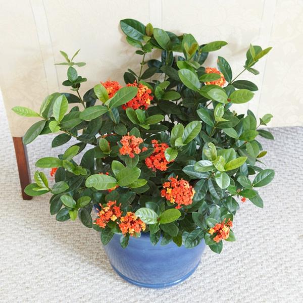 blühende zimmerpflanzen ixora coccinea