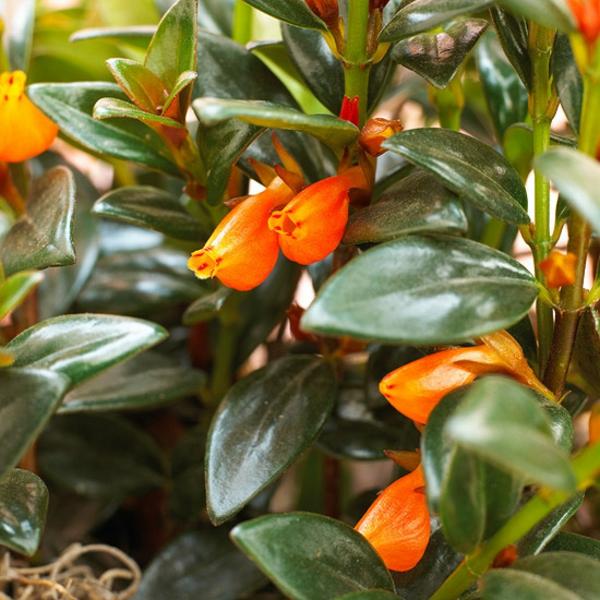 blühende zimmerpflanzen nematanthus guppy plant