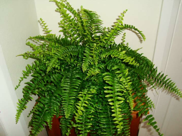 boston fern fengs shui topfpflanzen ideen