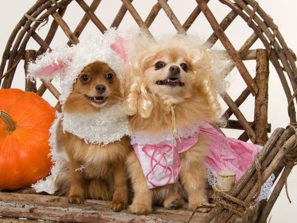 Hundebekleidung zu Halloween hochzeitgäste royal