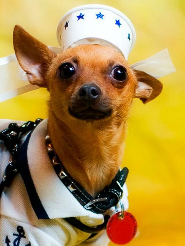 coole Hundebekleidung zu Halloween matrose