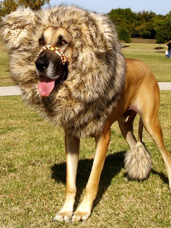 löwen kostüm Hundebekleidung zu Halloween wild tier