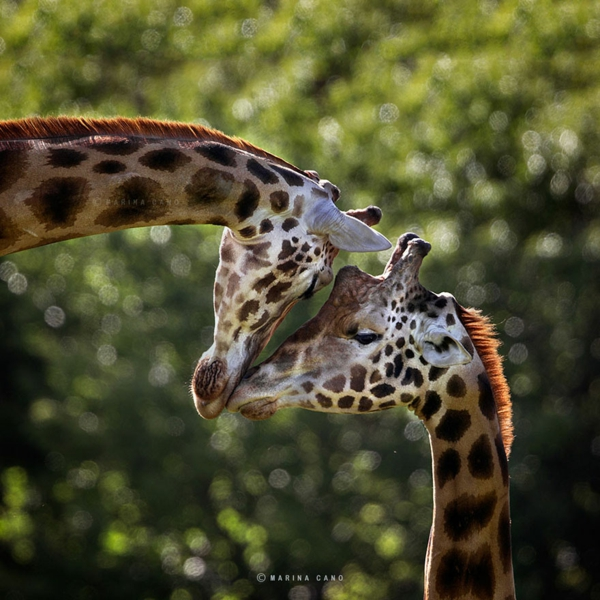 tolle fotos fotografie kunst giraffen