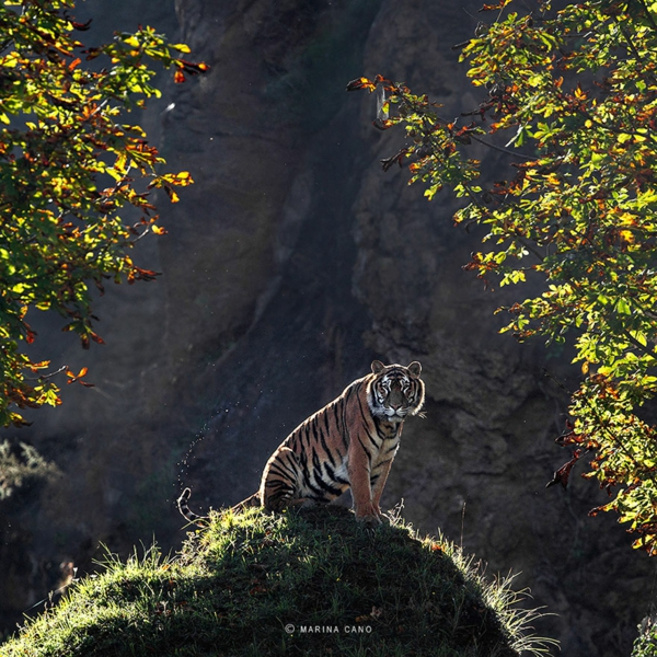 coole fotos fotografie wildtiere tiger