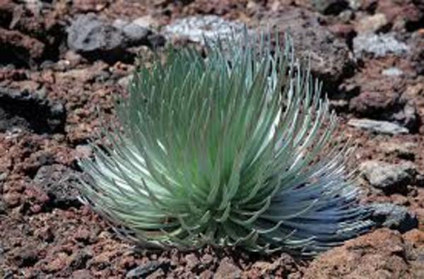 crawling silversword exotisch pflanzen dunkle räume