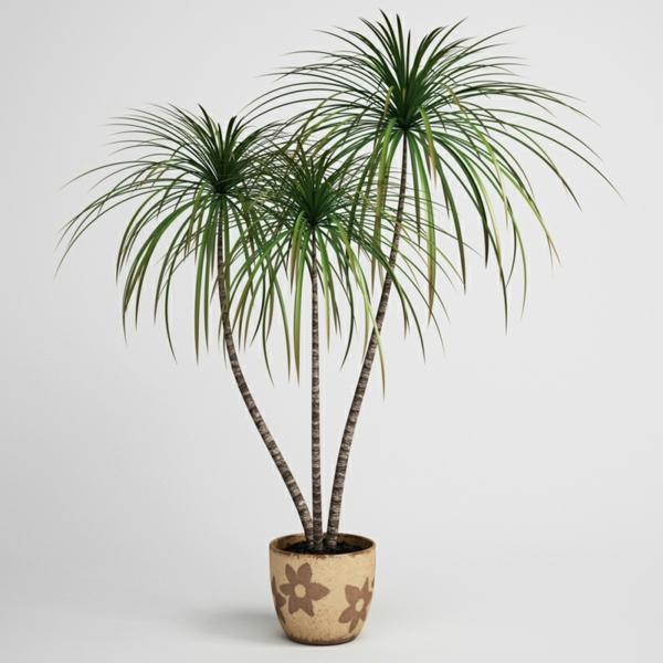 drachenbaum exotisch zimmerpflanzen dunkle räume