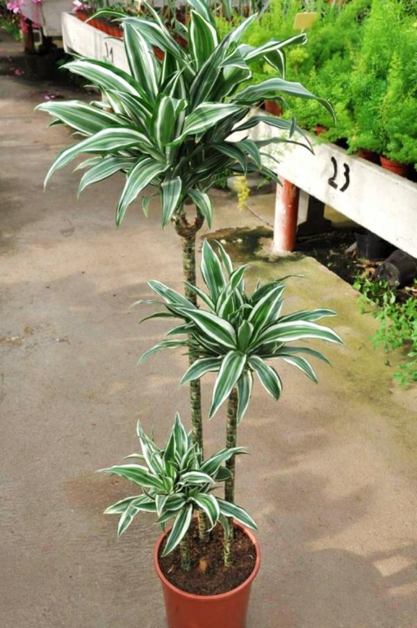 drachenbaum topfpflanzen ideen pflege Zimmerpflanzen für dunkle Räume