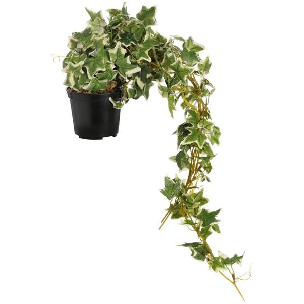 efeu Zimmerpflanzen für dunkle Räume