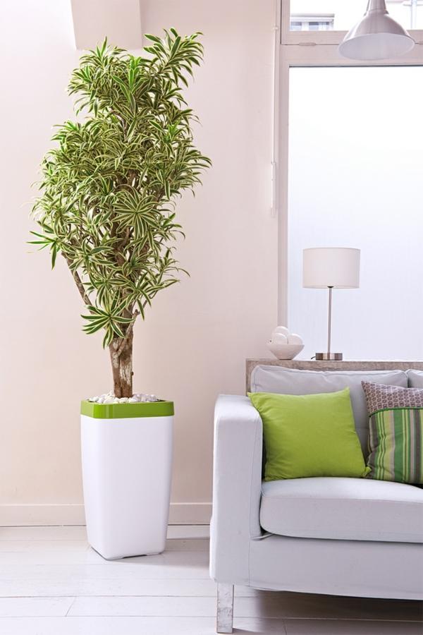 Feng Shui Zimmerpflanzen Dracaena Reflexa Gerandeter Drachenbaum Wohnzimmer Wohnideen