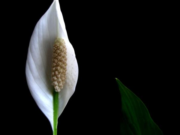 friedenslilie blüte weiß topfpflanzen