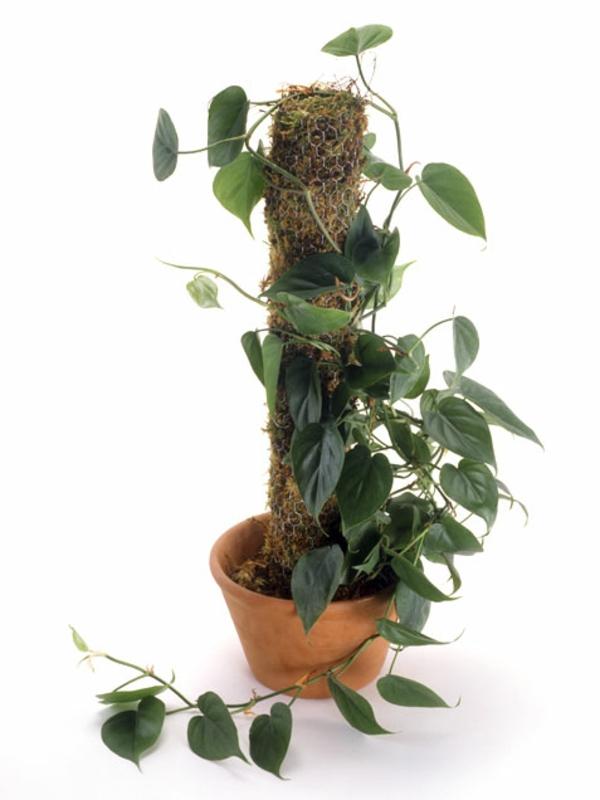 gartengestaltung garten zimmerpflanzen bilder Philodendron