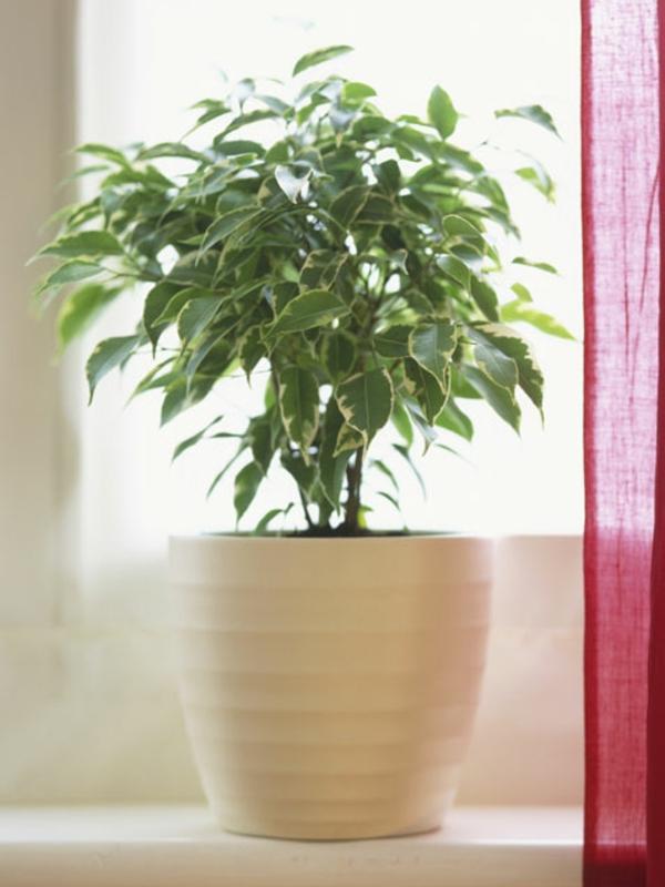 gartengestaltung garten zimmerpflanzen bilder birkenfeige