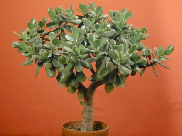 geldbaum pfennig zimmerpflanzen