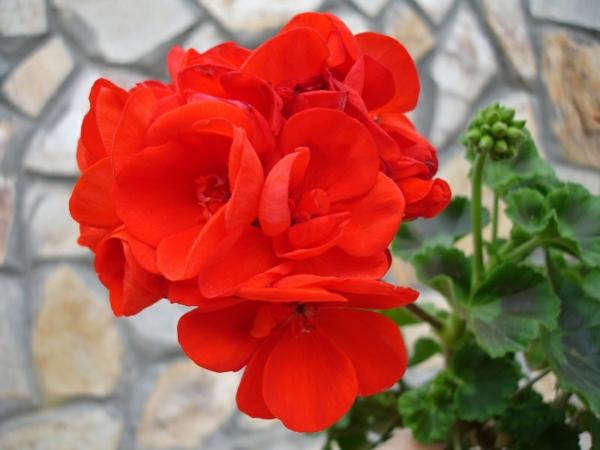 geranien rot blüten gefühle wirkung angenehm