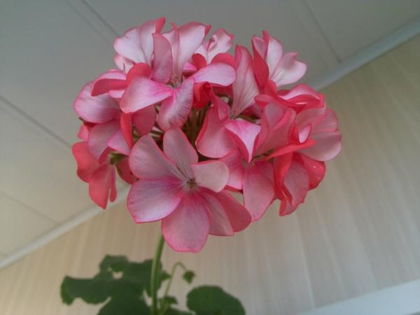 geranien beliebt zimmerpflanzen topf blumen