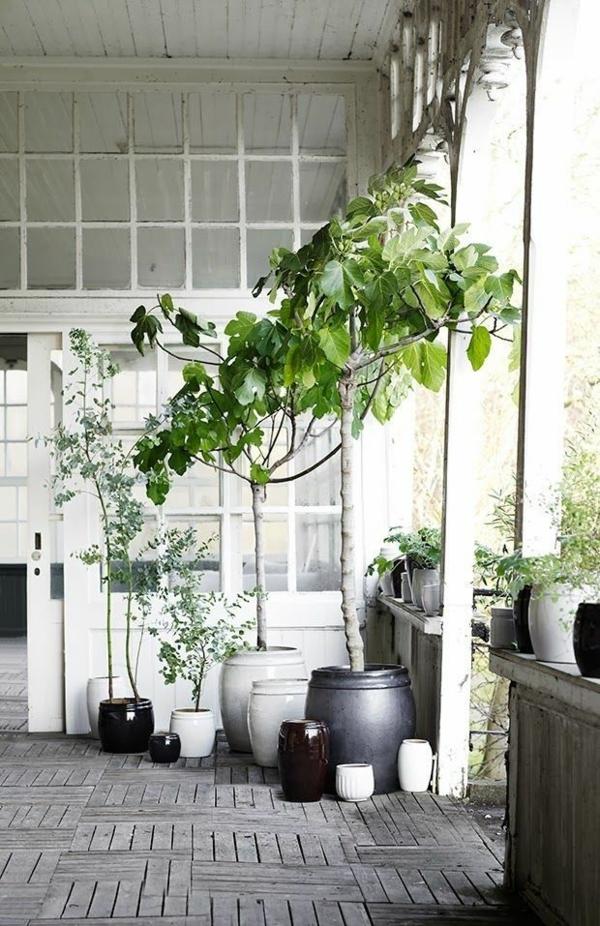 grüne zimmerpflanzen bilder topfpflanzen bäumchen feigenbaum