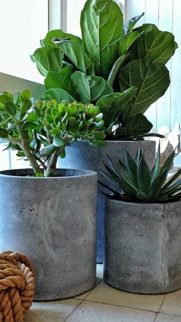grüne zimmerpflanzen bilder topfpflanzen geldbaum