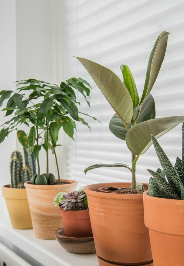 grüne zimmerpflanzen bilder topfpflanzen gummibaum sukkulenten kakteen