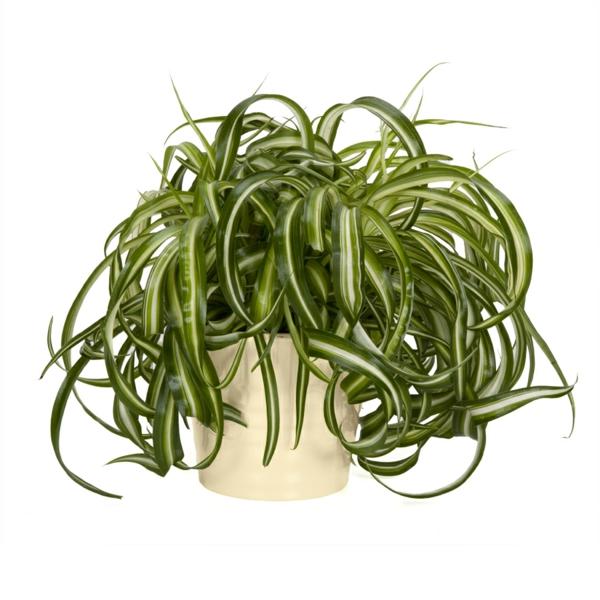 grünlilie beliebte zimmerpflanzen üppig