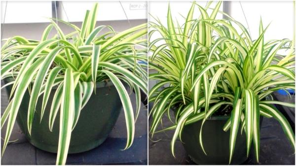 grünlilie beliebte zimmerpflanzen arten