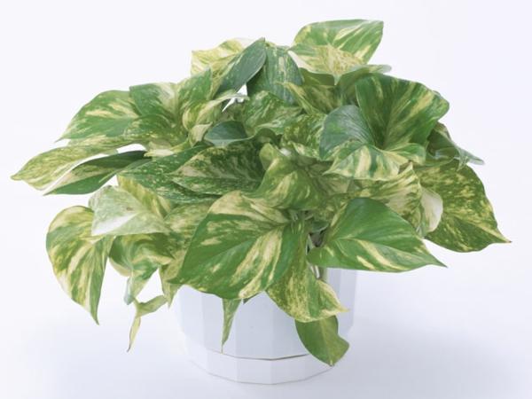 garten gestalten zimmerpflanzen dekoideen Pothos