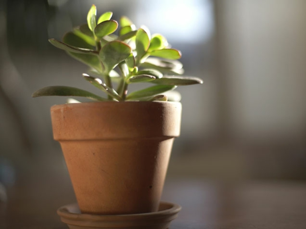 garten gestalten zimmerpflanzen dekoideen geldbaum