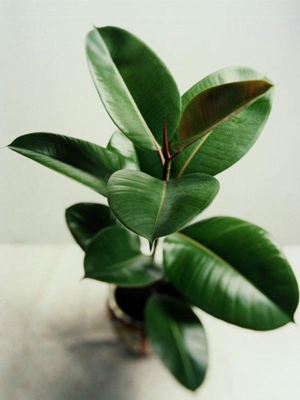 garten gestalten zimmerpflanzen dekoideen gummibaum