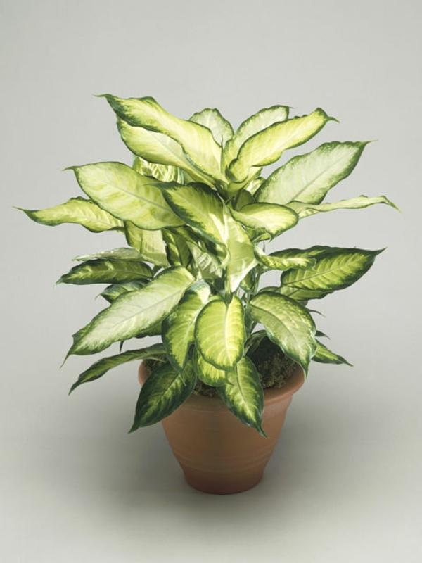 garten gestalten zimmerpflanzen diefenbachien