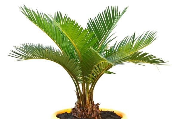palmen fürs zimmer palmen arten topfpflanzen deko ideen