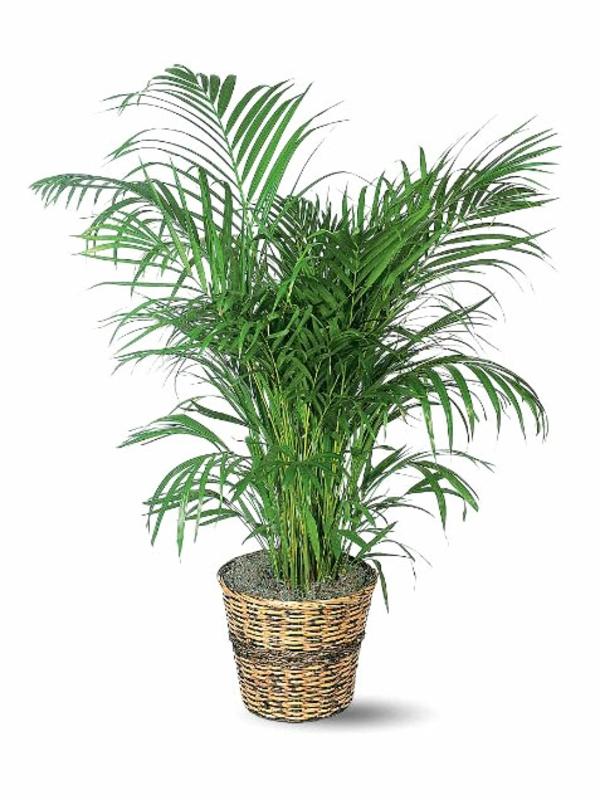 pflanzgattungen garten gestalten zimmerpflanzen arekapalme