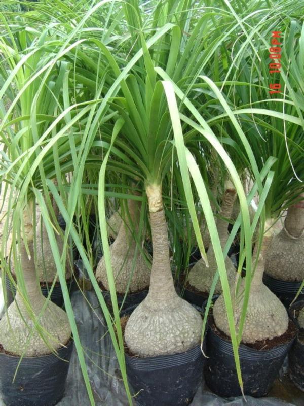 pflegeleichte topfpflanzen agavegewächs flaschenbaum palmen fürs zimmer