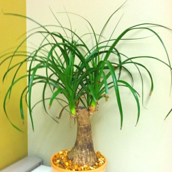 pflegeleichte zimmerpflanze elefantenfuß flaschenbaum