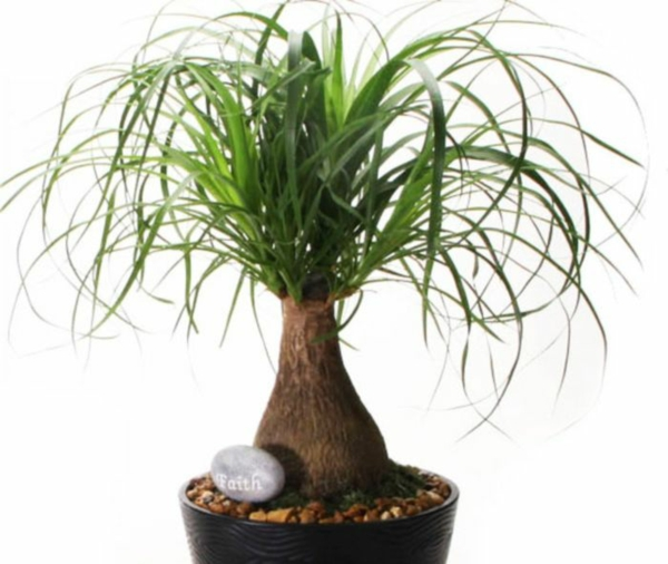 pflegeleichte zimmerpflanze elefantenfuß pflanze grüne deko ideen