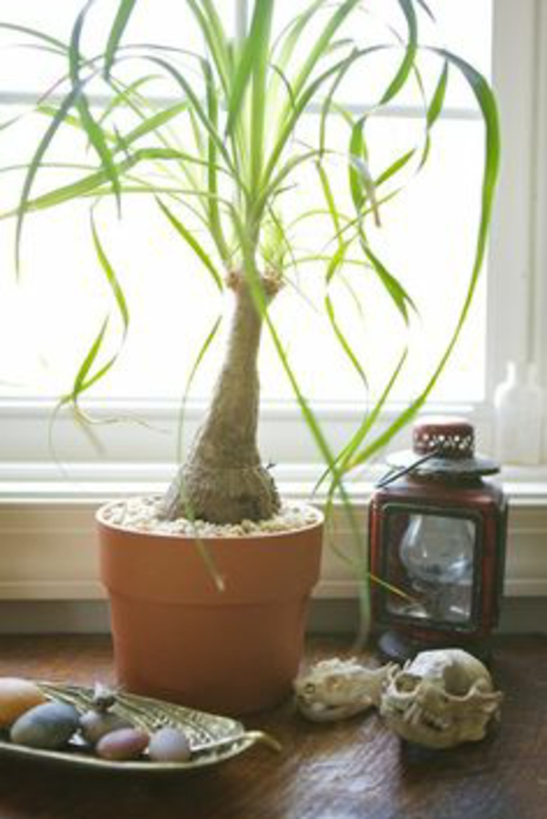 pflegeleichte zimmerpflanze elefantenfuß topfpflanzen flaschenbaum