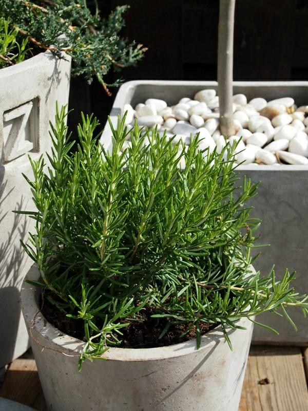 terrasse zauber der gewürze rosmarin kräuter