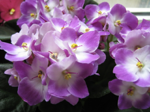veilchen pflegeleicht beliebt lila blüten grüne pflanzen