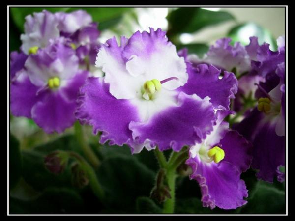 veilchen topfpflanzen lila weiß haus dekoration