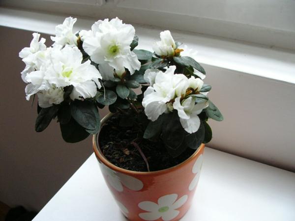blumentopf zimmerpflanzen weiß azalee