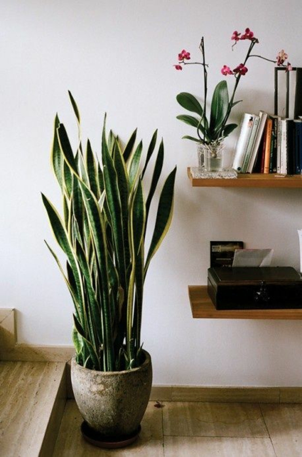 zimmergrünpflanzen bestimmen sansevieria trifasciata bogenhanf topfpflanze