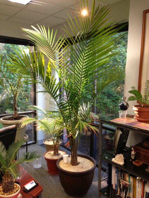 zimmerpalmen bilder - welche sind die typischen palmen arten?, Wohnzimmer