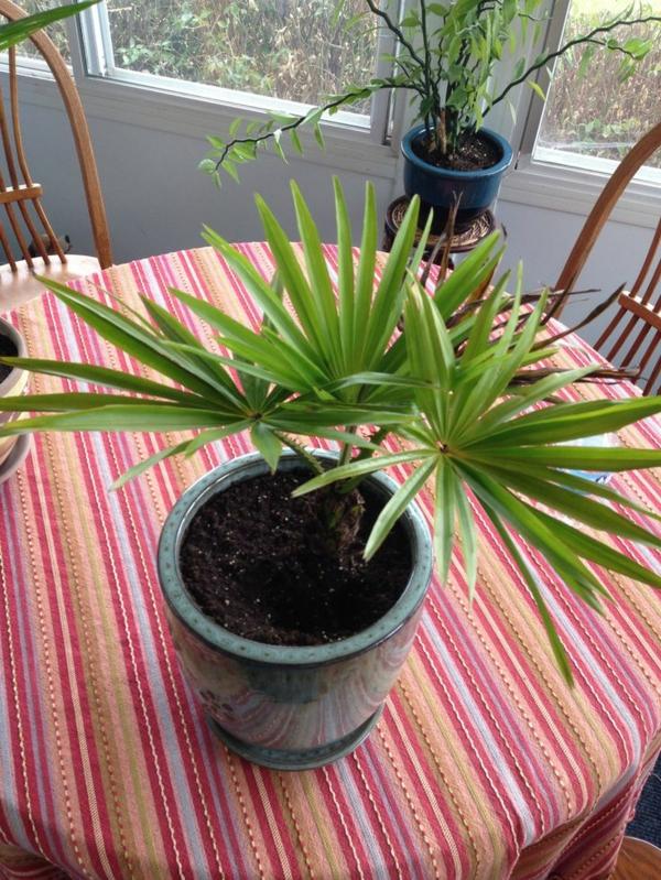 zimmerpalmen bilder palmen arten esszimmer einrichtungsideen