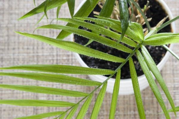 zimmerpalmen bilder palmen arten goldfruchtpalme