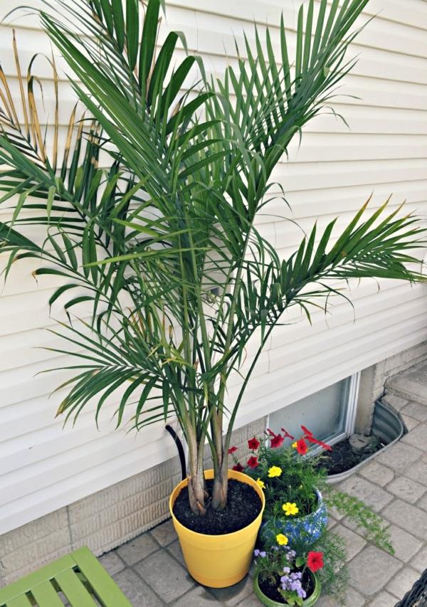 Zimmerpalmen bilder welche sind die typischen palmen arten for Fliegen in der erde von zimmerpflanzen