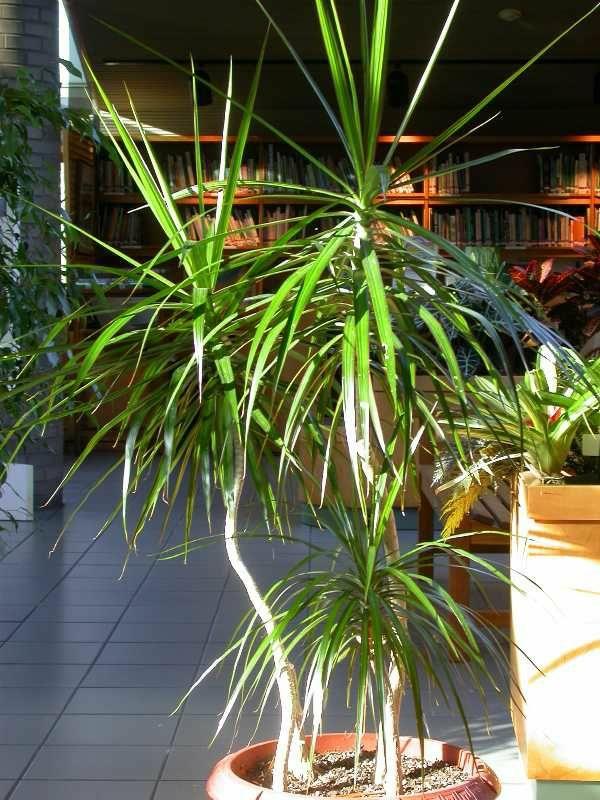 zimmerpalmen bilder topfpflanzen pflegeleicht drachenbaum pflege