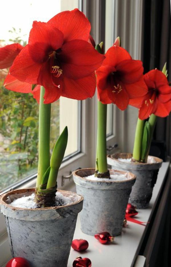 beliebteste zimmerpflanzen topfpflanzen blühend amaryllis ritterstern